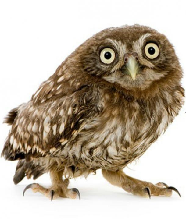 Image result for owl with white background