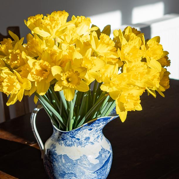 what do yellow daffodils symbolize daffodil flower meanings