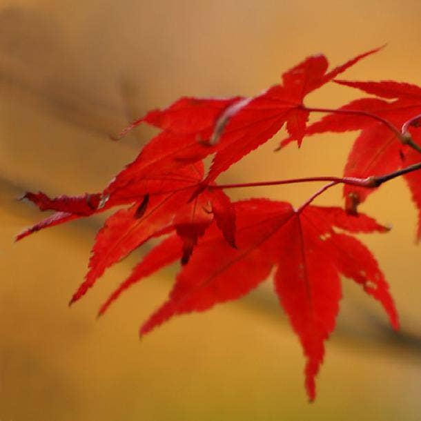 japanese maple leaf love symbol