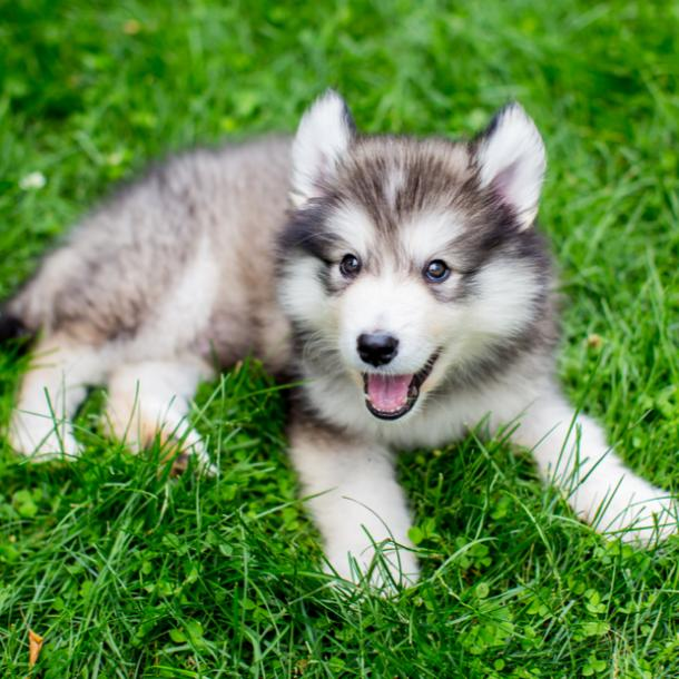 alaskan malamute cutest dog breeds