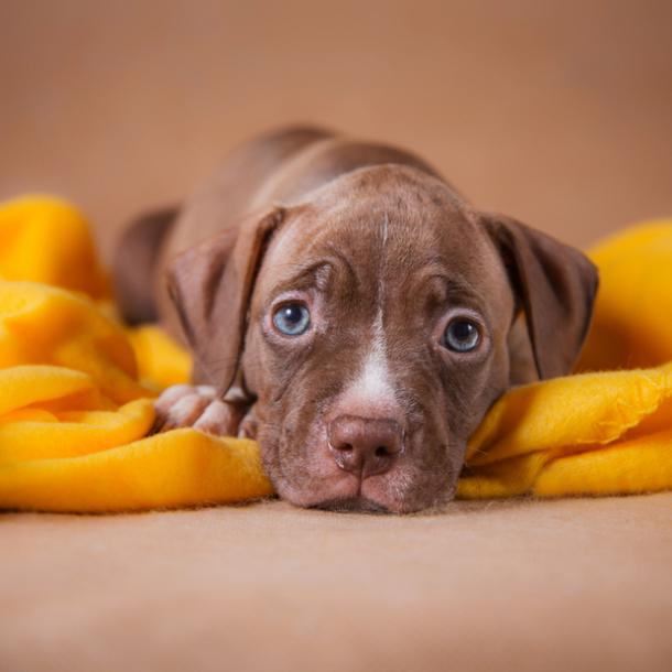 american pit bull terrier cutest dog breed