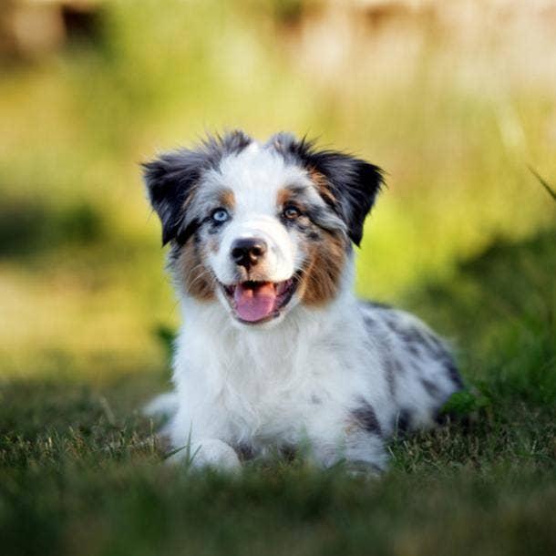 australian shepherd cutest dog breed