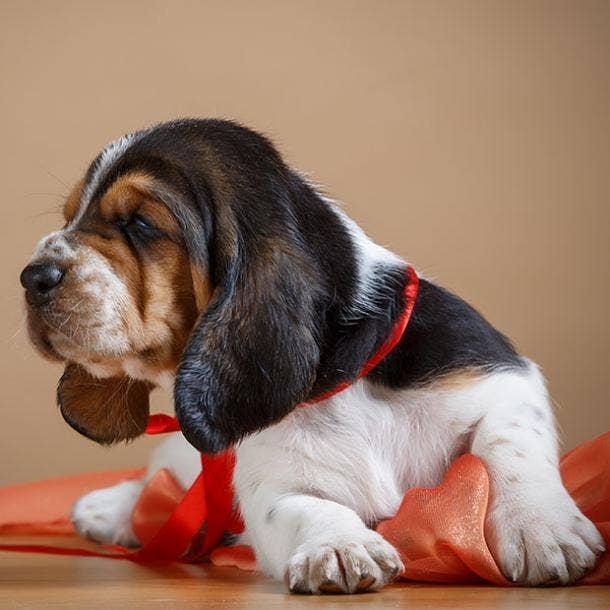 Basset hound puppy cutest dog breed