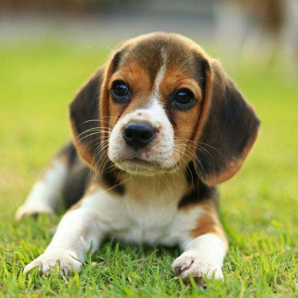 beagle cutest dog breed