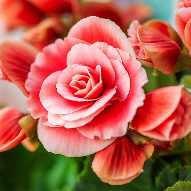 begonia flowers with negative meanings