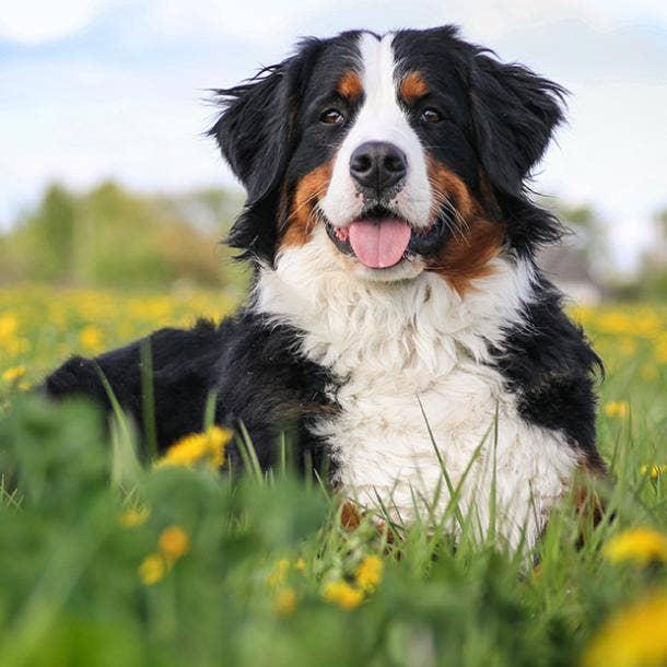 bernese mountain dog cutest dog breed