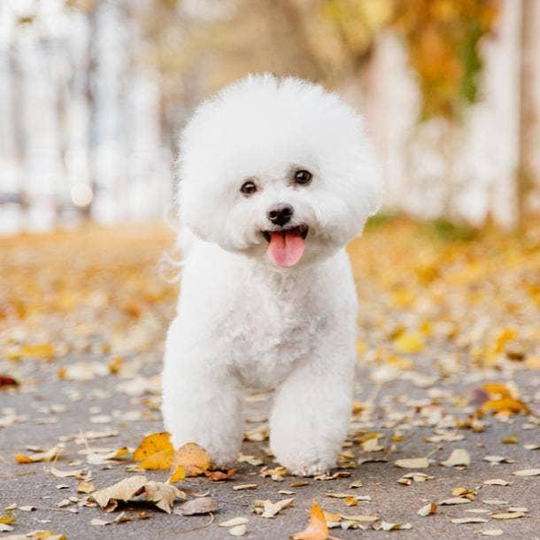 bichon frise cutest dog breeds