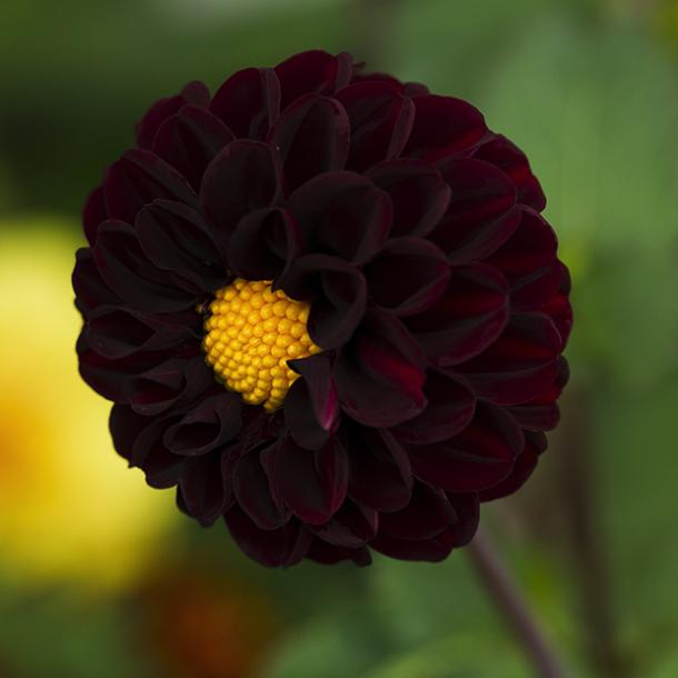 black dahlia flowers with negative meanings