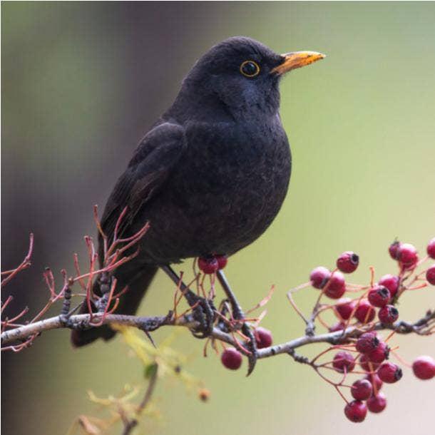 blackbird bird meanings