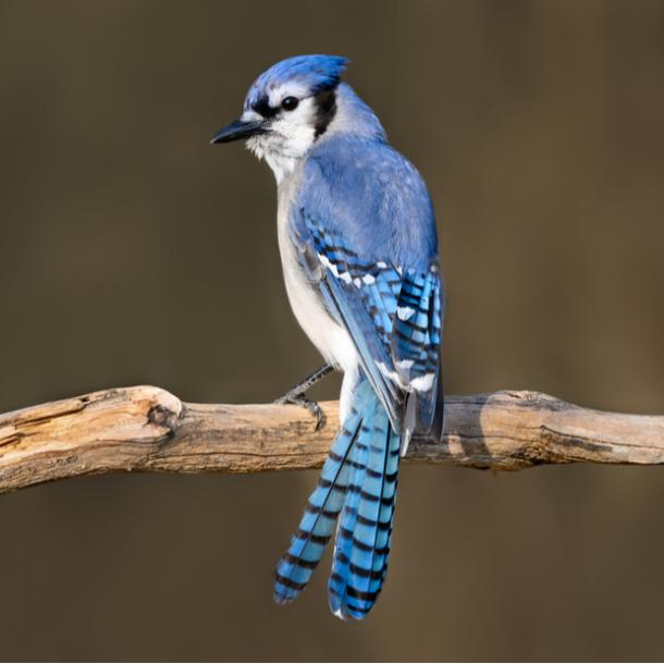 blue jay bird meanings