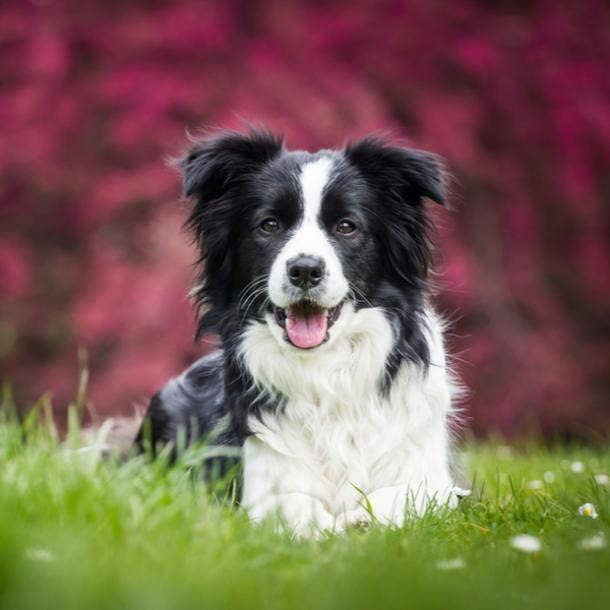 bordie collie cutest dog breed