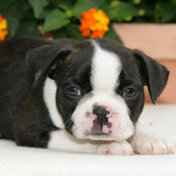 boston terrier cutest dog breeds