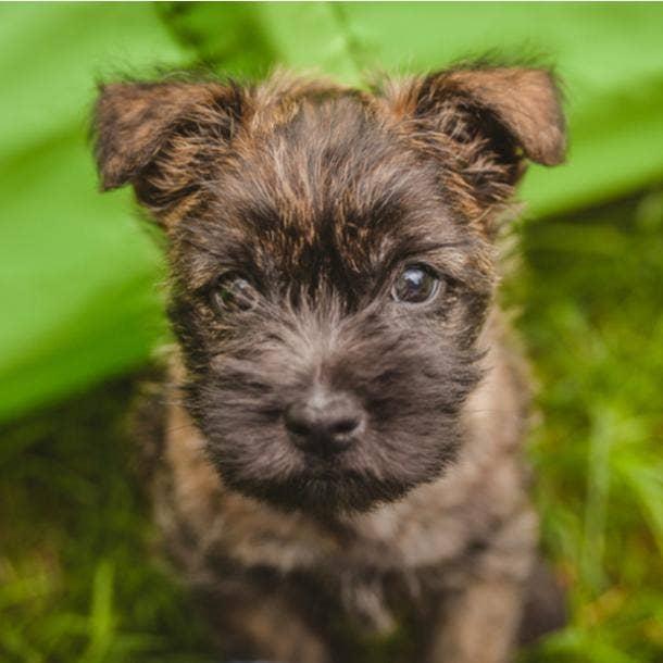 cairn terrier cutest dog breeds