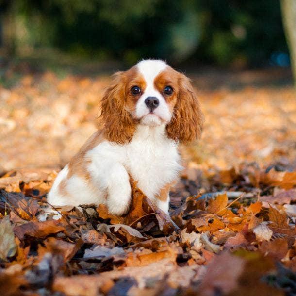 cavalier king charles spaniel cutest dog breed