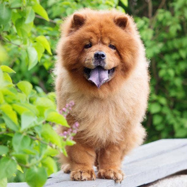 chow chow cutest dog breeds