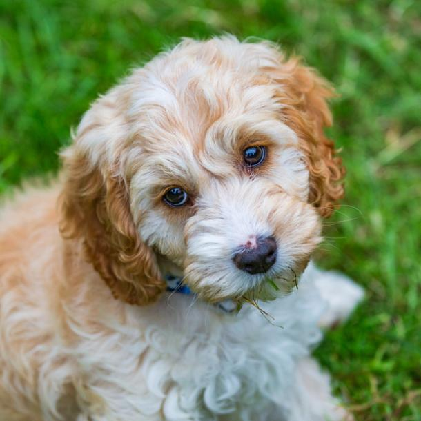 cockapoo cutest dog breed