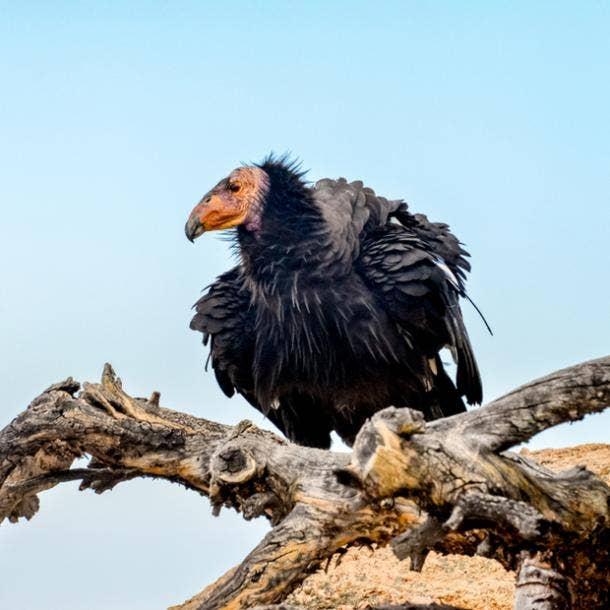 condor bird meanings