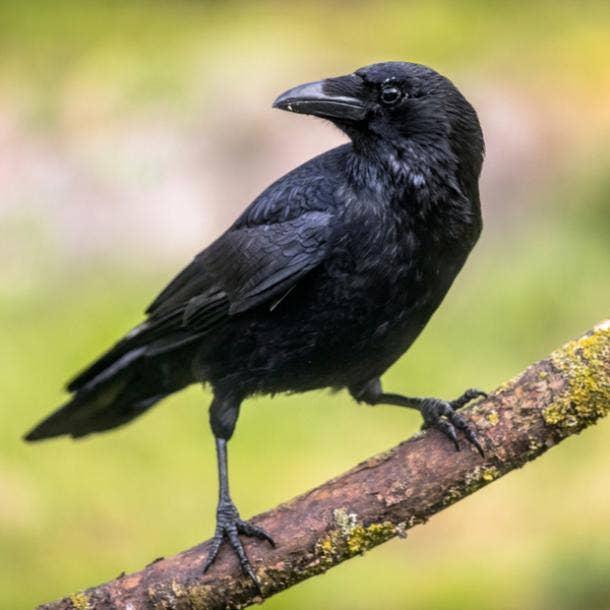 crow bird meanings