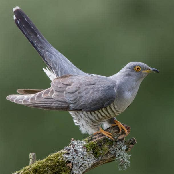 cuckoo bird meanings