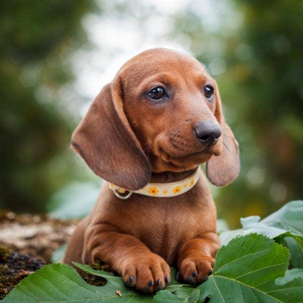 dachshund cutest dog breed