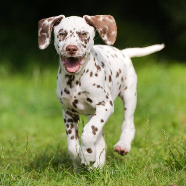dalmation cutest dog breeds
