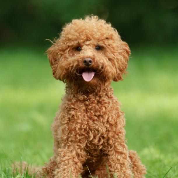poodle cutest dog breed
