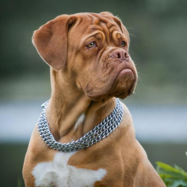 dogue de bordeaux cutest dog breeds