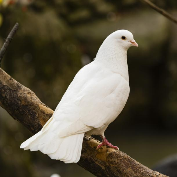 dove bird meanings