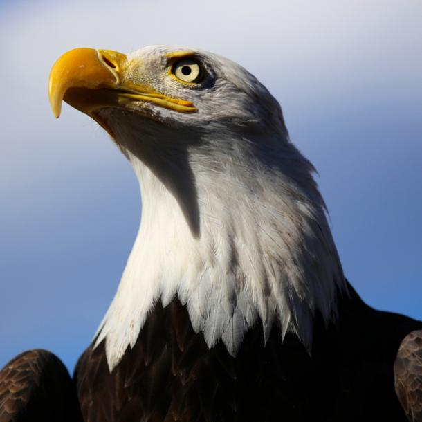 eagle bird meaning