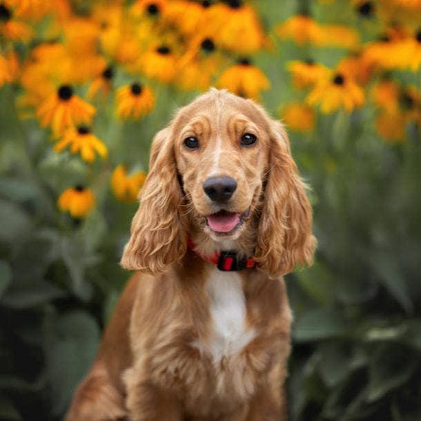 cocker spaniel cutest dog breeds