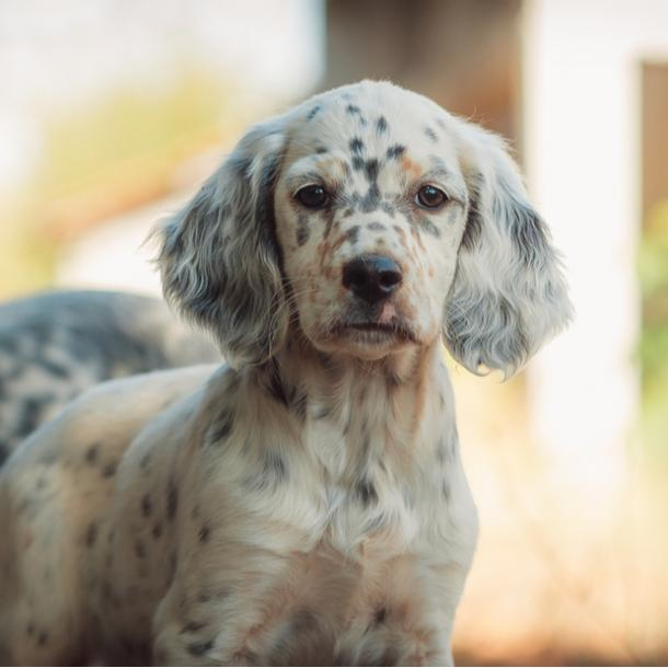 english setter cutest dog breeds