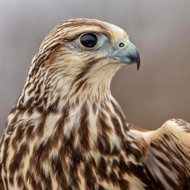 falcon bird meanings