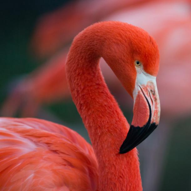 flamingo bird meanings