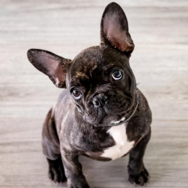french bulldog cutest dog breeds