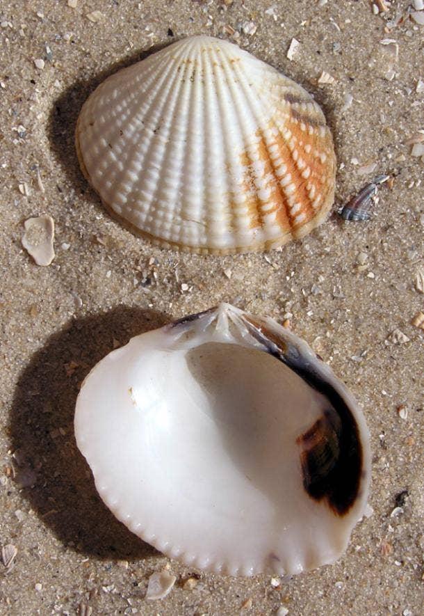 gafrarium tumidum shell love symbol