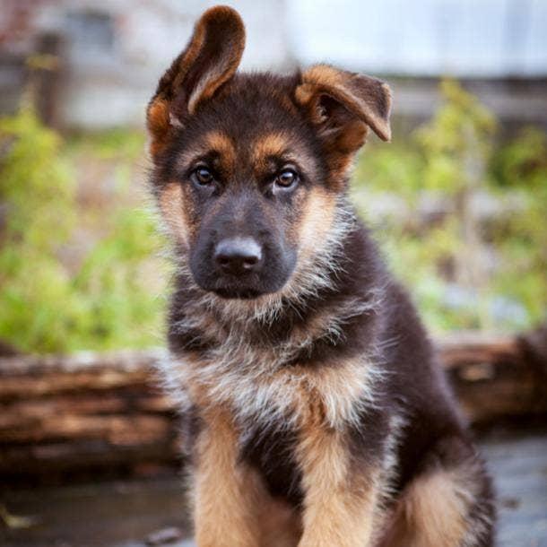 german shepherd cutest dog breed