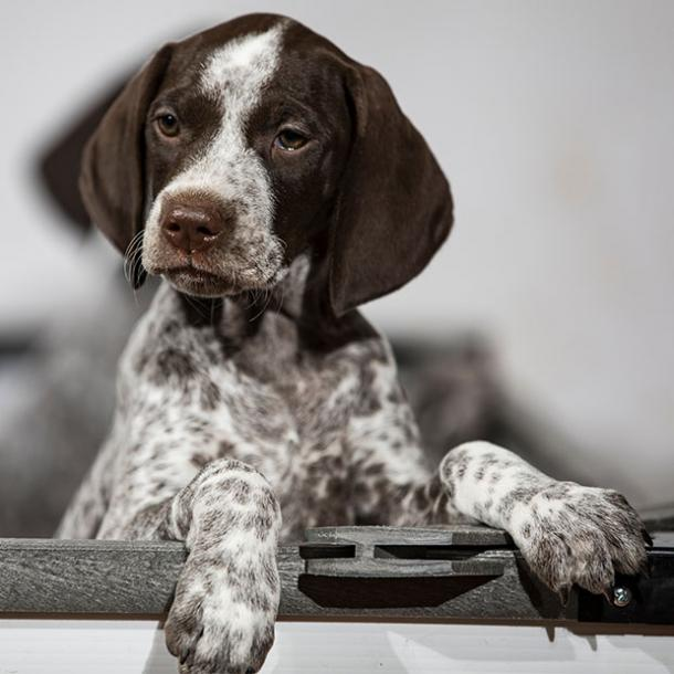 german shorthaired pointer cutest dog breed