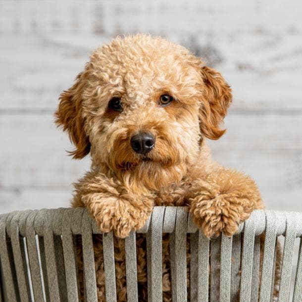 goldendoodle cutest dog breeds
