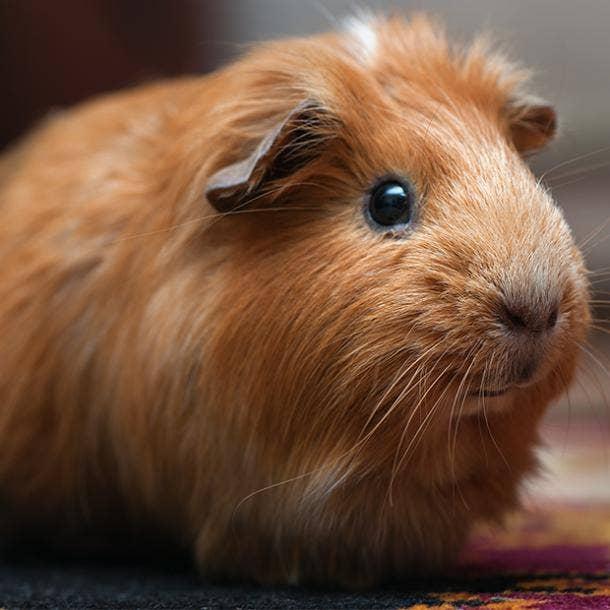tan and white guinea pig