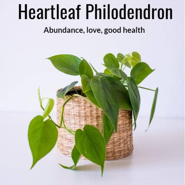heartleaf philodendron symbolism