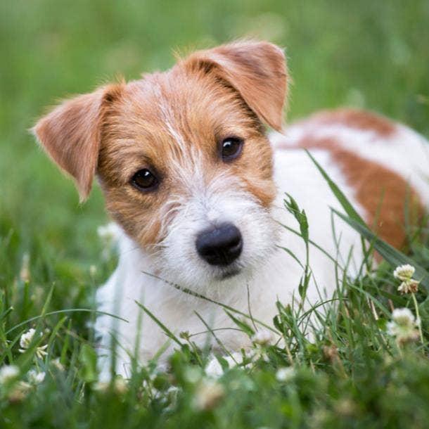 jack russel terrier cutest dog breeds