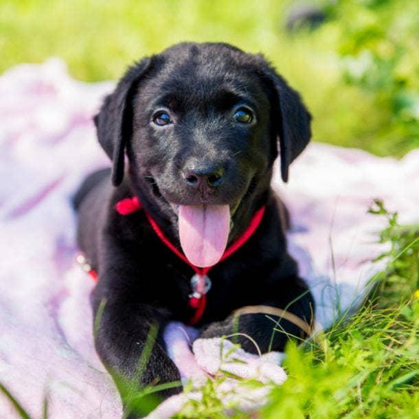 labrador retriever cutest dog breeds