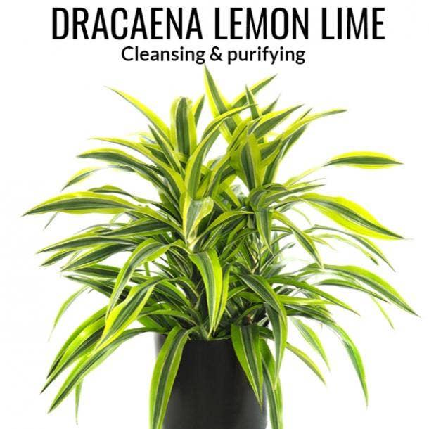dracaena lemon lime plant symbolism