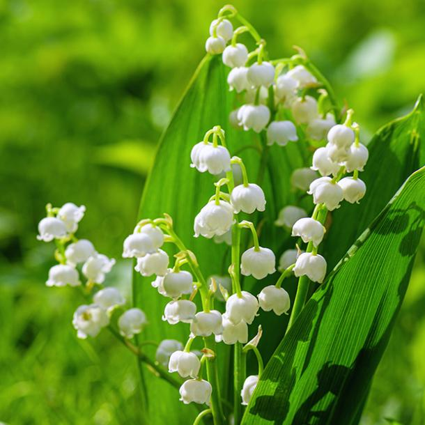 lily of the valley flowers with negative meanings