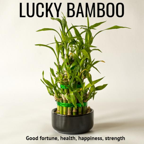 lucky bamboo plant symbolism