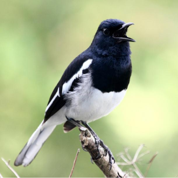 magpie bird meanings