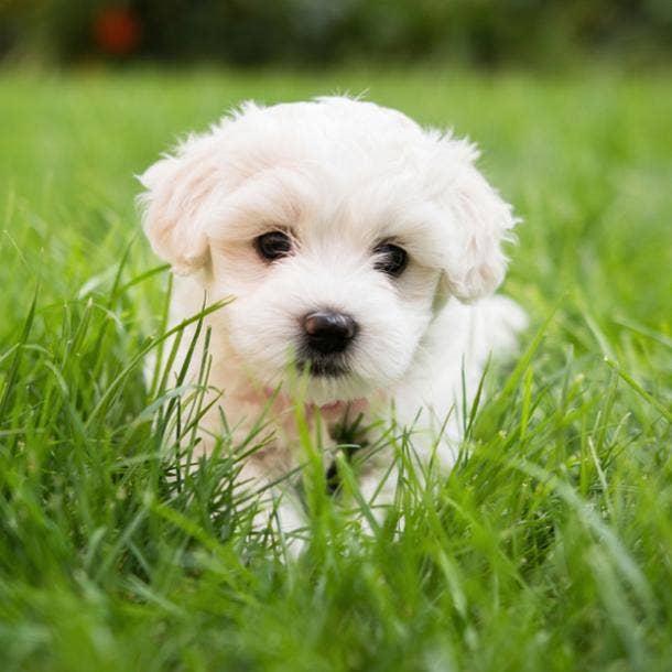 maltese cutest dog breeds