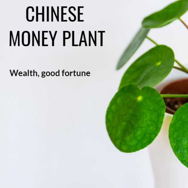 chinese money plant symbolism