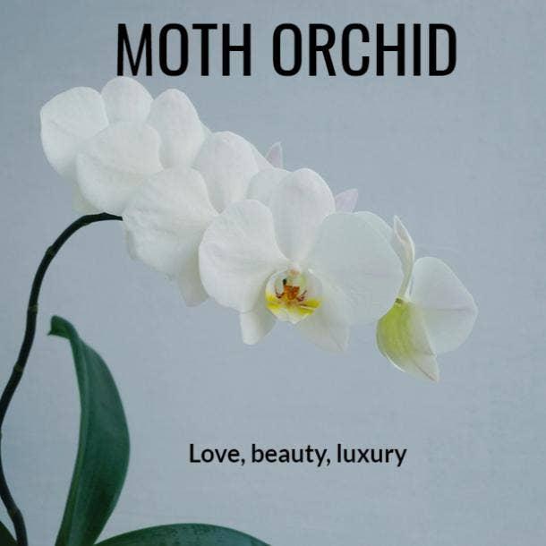 moth orchid plant symbolism