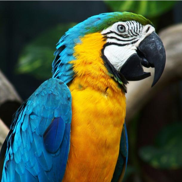 parrot bird meanings